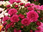 Фото хризантем игольчатых – Однолетние и многолетние хризантемы сорта с фото и названиями, посадка и уход в открытом грунте осенью