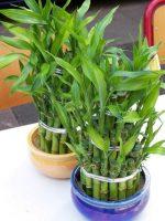 Фото бамбук – Комнатный бамбук, растения, комнатные цветы, растение удачи, приметы, уход за комнатным бамбуком, как вырастить комнатный бамбук,