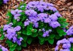 Агератум блу минк – выращивание из семян, когда сажать, фото сортов и названия