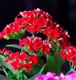 Цветущее каланхоэ фото – Каланхоэ (48 фото): неприхотливый домашний любимец